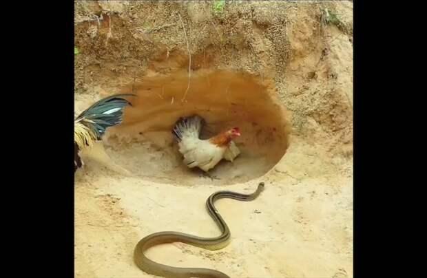 Петух позволил курице с цыплятами самим разобраться со змеей и ушел в безопасное место