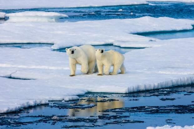 Сокращение ледников привело кнашествию белых медведей наНовой земле: Новости ➕1, 12.06.2021