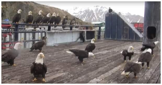 В суровых краях и голуби суровые! Кормление белоголовых орланов на Аляске
