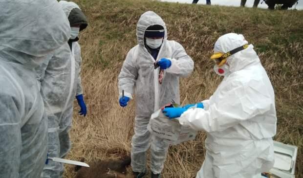 Труп кабана сожгли в Удмуртии из-за подозрения на африканскую чуму