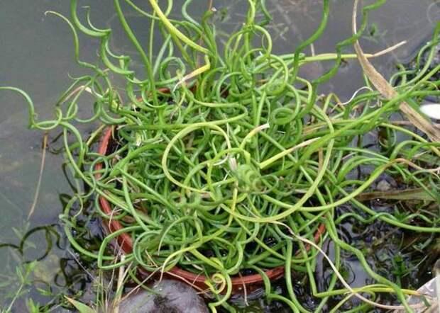Ситник распростертый Спиральный, фото сайта Buy Rare Seeds