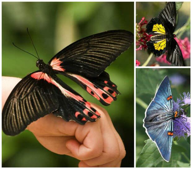 Сиреневая пяденица (Naxa seriaria) - легко взлетает с любой поверхности, даже затянутая под воду, она выныривает и взлетает прямо с поверхности бабочки, интересное, красота, насекомые
