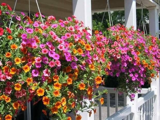 Озеленение балкона, лоджии, террасы. Ампели
