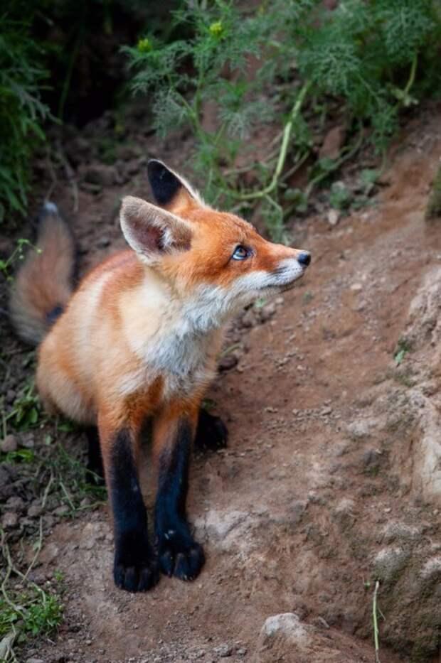 20 снимков очаровательных рыже-черно-белых лисиц