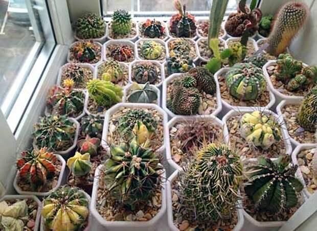 Кактусы зимнее содержание, кактусы уход, кактусы выращивание