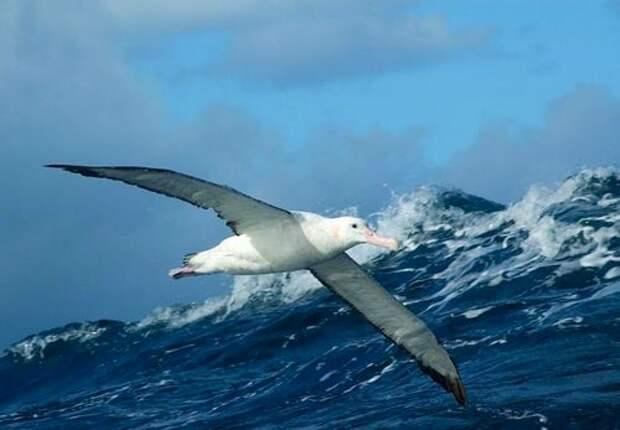 Альбатрос-птица-Описание-образ-жизни-и-виды-альбатроса-5