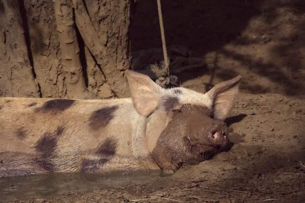 В Удмуртии за антисанитарию закрыли частную свиноферму