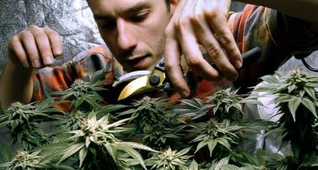 ООН признала марихуану не наркотиком - нужно больше торчков