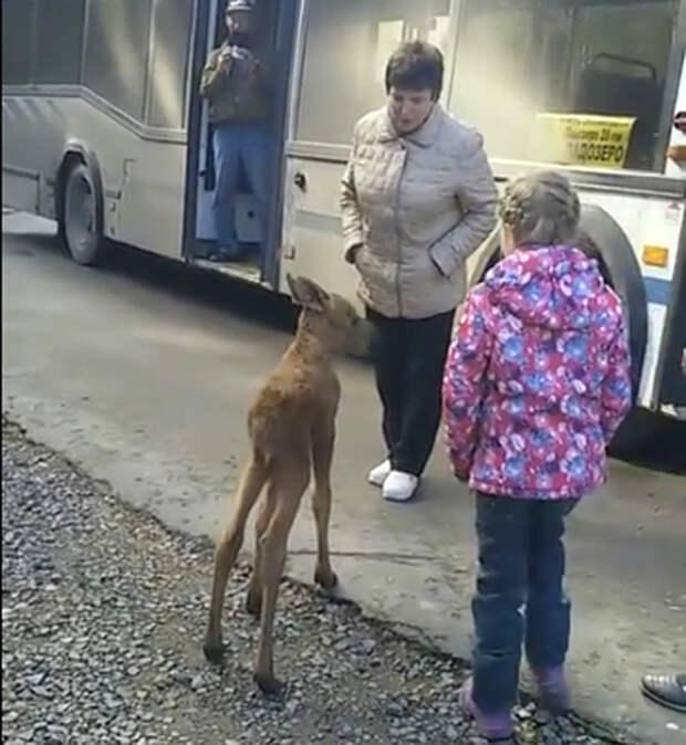 В Карелии одинокий лосенок вышел к людям и сел в автобус