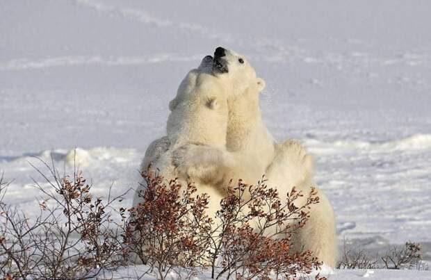 Игривая медвежья борьба и нежные медвежьи объятия