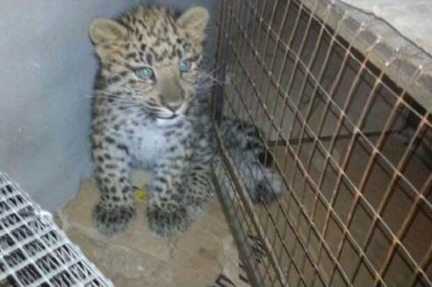 Возраст леопарденка — почти четыре месяца. Фото: https://youla.io