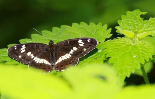 В Митинский лесопарк прилетела редкая бабочка Камилла