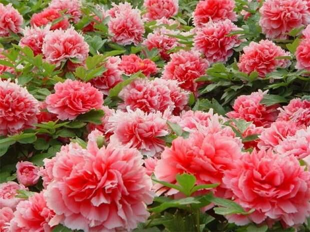 Пион на миллион: 5 секретов пышного цветения