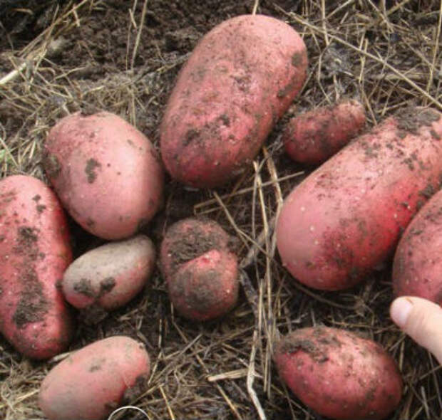 Картофель Скарлет — описание сорта, уход, устойчивость к болезням