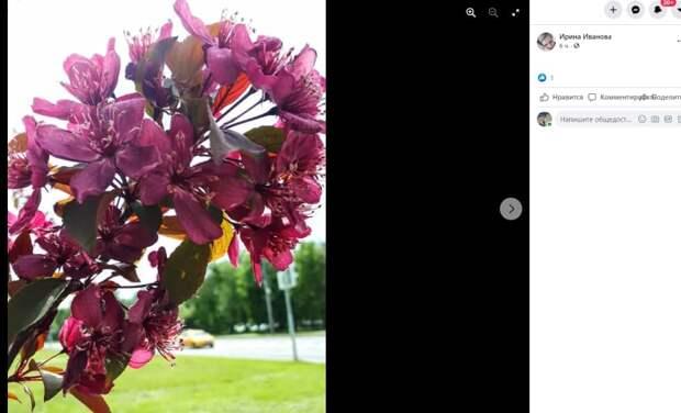В парке «Северное Тушино» расцвела пурпурная яблоня