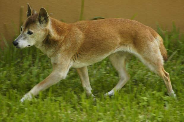 В Индонезии ученые нашли стаю считавшихся вымершими певчих собак