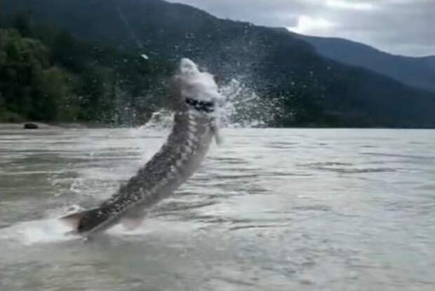 Watch: Massive sturgeon jumps out of water in British Columbia river