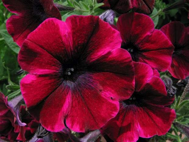 Роскошная петуния флорибунда глубокого темно-красного цвета