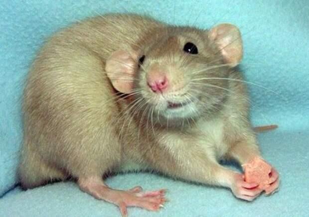 Картинки по запросу крысы умеют смеяться