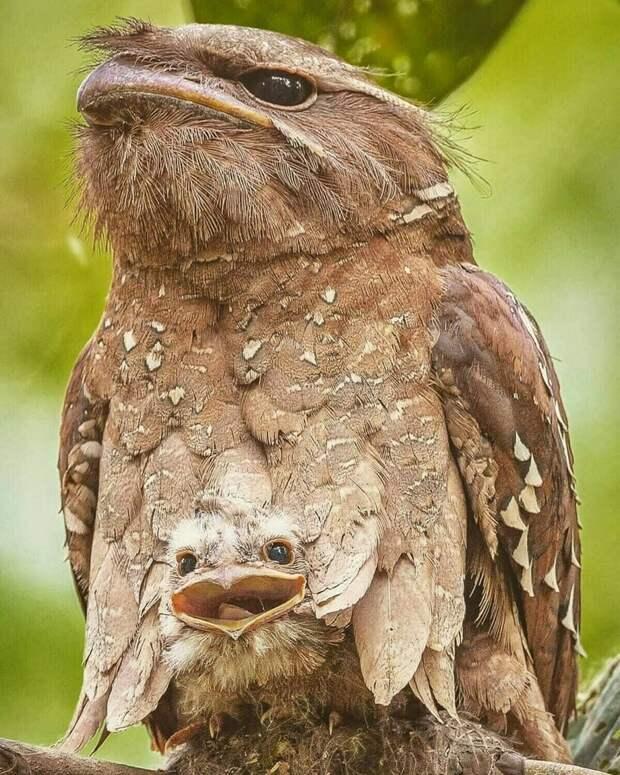 12 фото очаровательных птенцов лягушкорота