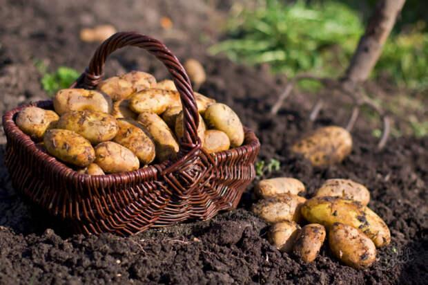 Огромный урожай картошки получила благодаря... отходам
