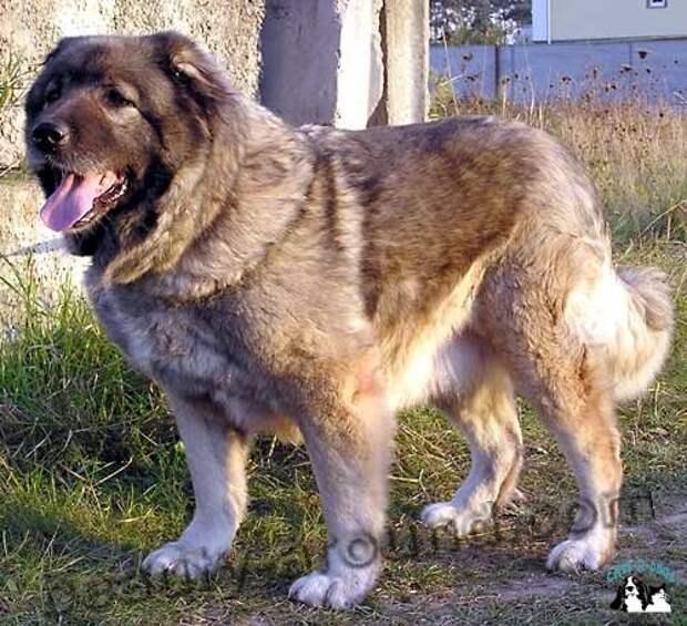 Кавказская овчарка самая красивая собака, породы собак с фото
