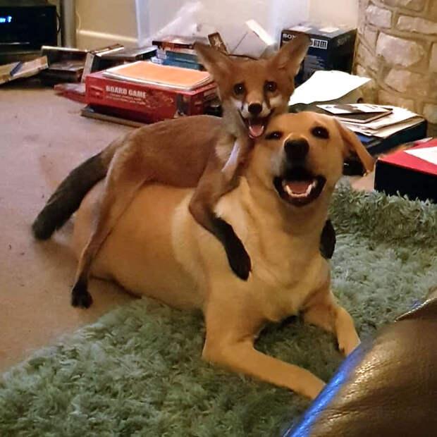 История спасённой лисы, которую воспитали собаки