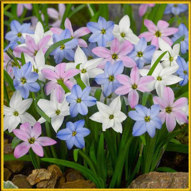 Ифейон - весенний звездный цветок