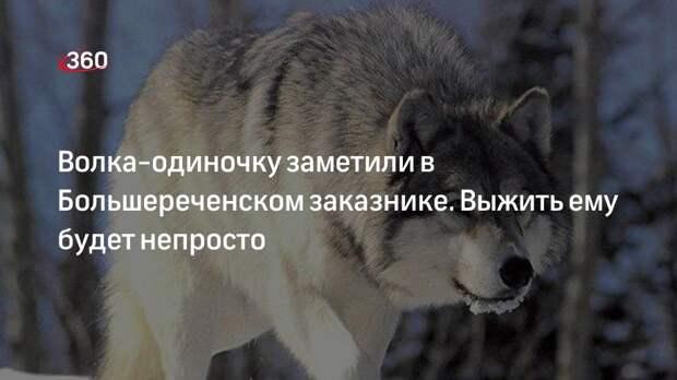 Волка-одиночку заметили в Большереченском заказнике. Выжить ему будет непросто