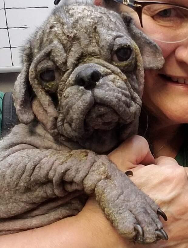 Обиделся! Как помочь щенку мопса, если жизнь подарила ему неласковый сюрприз?