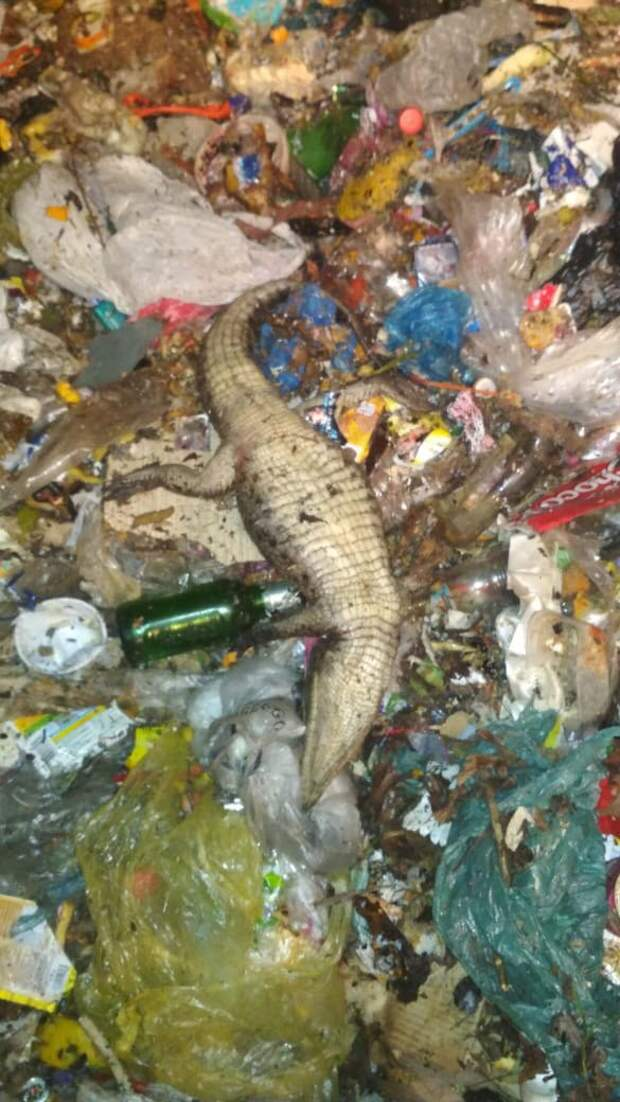 Нечем было кормить. Фотограф выкинул на свалку в Сочи мёртвых питона и крокодила
