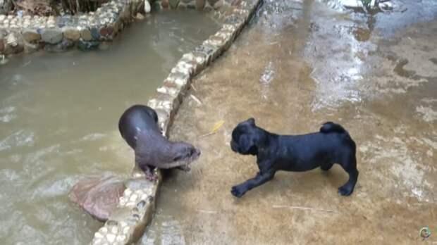 Видео: Выдры и щенок впервые в жизни повстречали друг друга