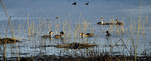 Колония чомг на оз.Кабан в Казани, до 10 пар в 2010 г., до 50 птиц сейчас