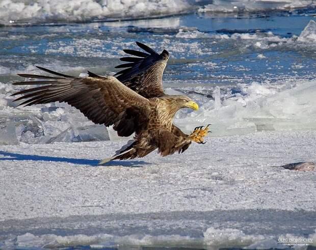 Орлан-белохвост ловит рыбу. Это фото также вошло в ТОП-100 лучших фотографий года на конкурсе 35AWARDS. Фото Олег Знобищев.