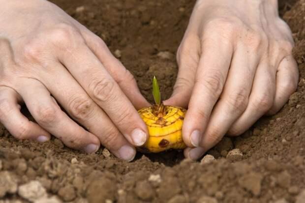 Когда высаживать гладиолусы в открытый грунт?