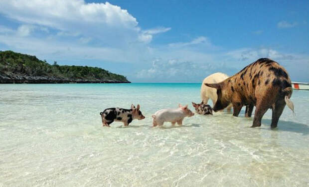 Плавающие свиньи