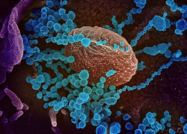 Ученые считают, что победить коронавирус помогут ламы