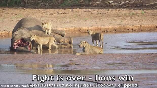 Неравный бой - львы и крокодил