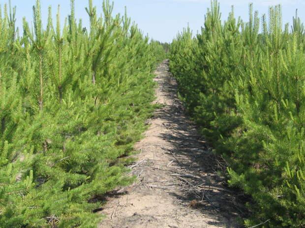 Семья из Омской области посадила 1001 сосну лес, семья