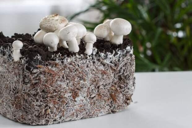 Шампиньоны с грядки. Как вырастить на даче грибы?