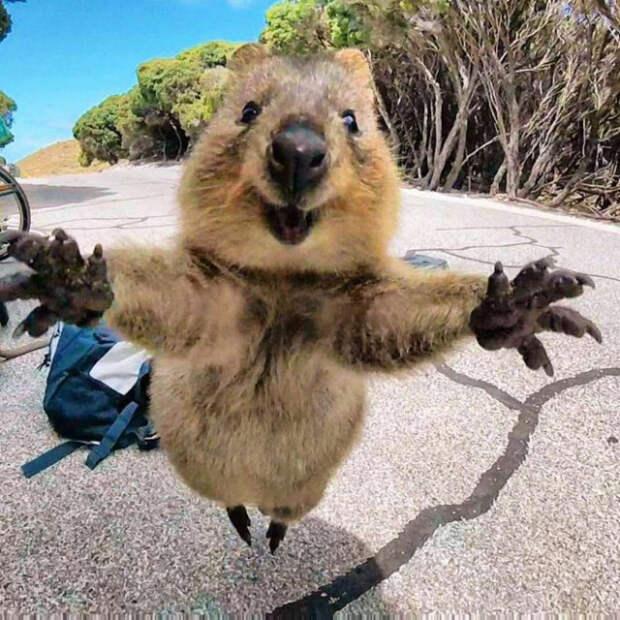 Знакомьтесь, это квокка, самое счастливое животное на Земле