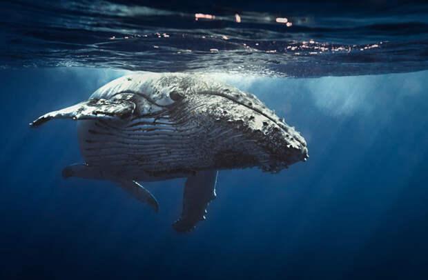 САМЫЕ РЕДКИЕ ЖИВОТНЫЕ горбатый кит