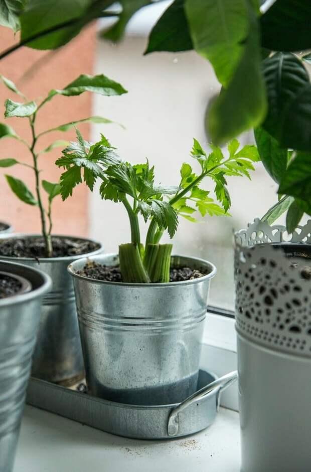 Сельдерей. Прекрасное и полезное растение. Как выращивать.