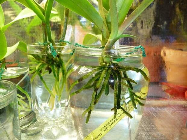 Самый эффективный и простой способ выращивания орхидеи в воде
