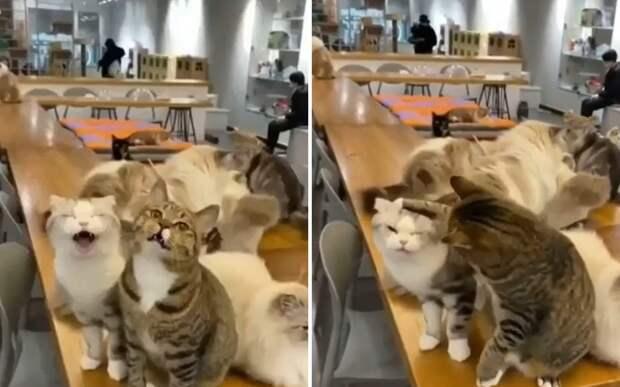 «Тихо! Я говорю»: кот заставил брата замолчать и рассмешил соцсети