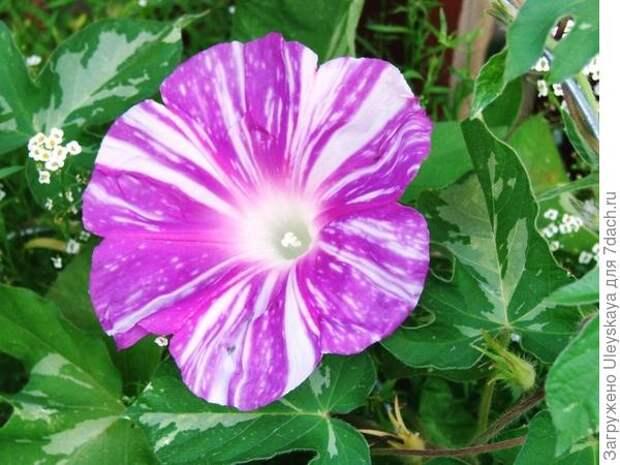 Ипомея пестролистная, фото сайта japan.escubes.com