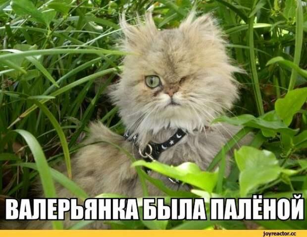 Возможно, это изображение (персидский кот и текст «валерьянка была палёной joyreactor.cc»)