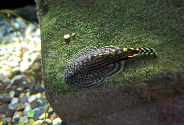 Вьюн горных рек (Beaufortia kweichowensis) аквариумные рыбки, животные, необычные рыбы, рыбы