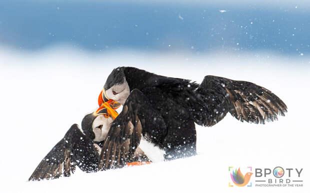 Птичий конкурс Bird Photographer of the Year 2021