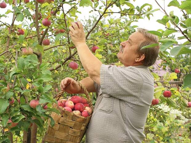 Яблоки и груши: правила съема